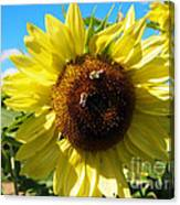 Sunflowers With Bees Harvesting Pollen Canvas Print
