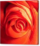 Sunkissed Orange Rose 11 Canvas Print
