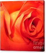 Sunkissed Orange Rose 6 Canvas Print