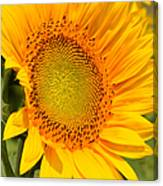 Sunkissed Sunflower Canvas Print
