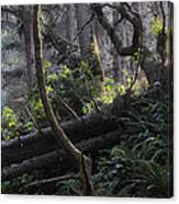 Sunlight Filtering Through An Old-growth Forest Canvas Print
