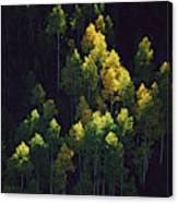 Sunlight Highlights Aspen Trees Canvas Print