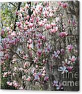 Sunlight On Saucer Magnolias Canvas Print