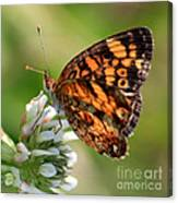 Sunlight Through Butterfly Wings Canvas Print