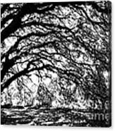 Sunlight Through Spanish Oak Tree - Black And White Canvas Print
