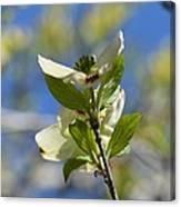 Sunlit Dogwood Blossoms Canvas Print