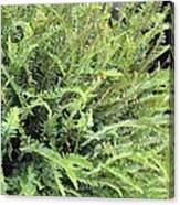 Sunlit Ferns Canvas Print
