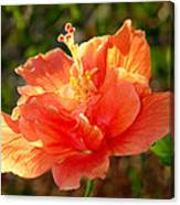 Sunlit Hibiscus Canvas Print