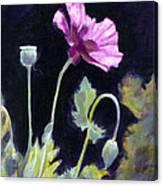 Sunlit - Icelandic Poppy Canvas Print