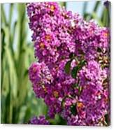 Sunlit Purple Crepe Mertle Canvas Print