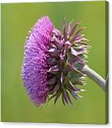 Sunlit Thistle Canvas Print