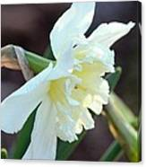 Sunlit White Daffodil Canvas Print