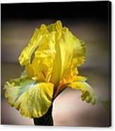 Sunlit Yellow Iris Canvas Print