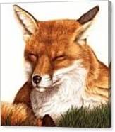 Sunnin' Red Fox Canvas Print