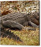 Sunning Alligator. Wetlands Park. Canvas Print