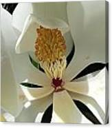 Sunny And Shy Magnolia Canvas Print