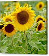 Sunny As Far As The Eye Can See Canvas Print