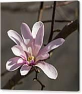 Sunny Pink Magnolia Blossom Canvas Print