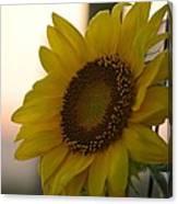 Sunrise Sunflower Canvas Print