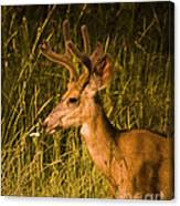 Sunset Buck Canvas Print