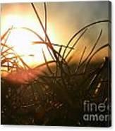 Sunset Grass 1 Canvas Print
