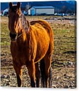 Sunset Bay Horse Heber Valley Utah Canvas Print