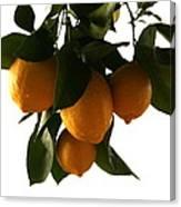 Sunset Lemons Canvas Print