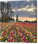 Sunset Over Tulip Flower Farm In Springtime Canvas Print