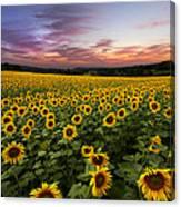 Sunset Sunflowers Canvas Print