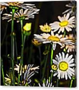 Sunshine Daisies Butter Mellow Canvas Print