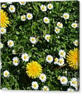 Sunshine In The Daisies Canvas Print