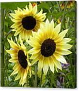 Sunshine Trio Canvas Print