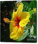 Sunshine Yellow Hibiscus With Red Throat Canvas Print