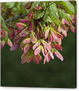 Super Sweet Winged Maple Seeds Canvas Print