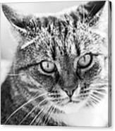 Surprised Cat Canvas Print