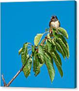 Swallow Sitting On Cherry Tree Branch Canvas Print