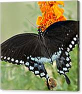 Swallowtail Butterfly With Marigolds Canvas Print