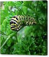 Swallowtail Caterpillar Canvas Print