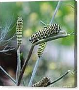 Swallowtail Caterpillars On Dillweed Canvas Print