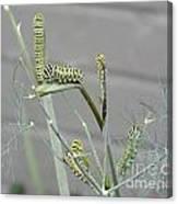 Swallowtail Feast Canvas Print