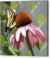 Looking Up At Swallowtail On Coneflower Canvas Print
