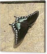 Swallowtail On The Rocks Canvas Print
