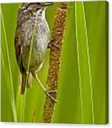 Swamp Sparrow Pictures Canvas Print