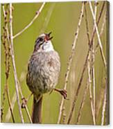 Swamp Sparrow Split Decision Canvas Print
