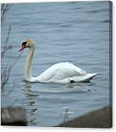 Swan A Swimming Canvas Print