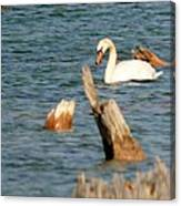 Swan Amid Stumps Canvas Print