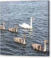 Swan And His Ducklings Canvas Print