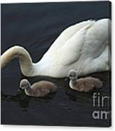 Swan And Signets Canvas Print