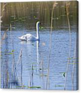 Swan At Derryallen Lough Canvas Print