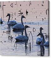 Swan At Dusk Canvas Print